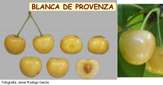 White cherry from Provence, cherry variety White from Provence, cherry from late ripening